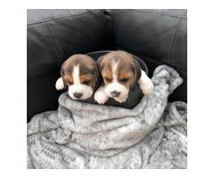 Gorgeous AKc Beagle Puppies