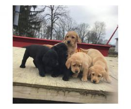 AKC registered English Labrador puppies