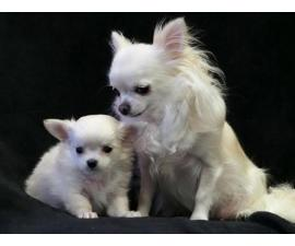 Top Quality Very Fluffy Long-coat Chihuahua Puppy (802) 265-6723