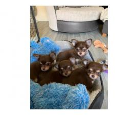 Gorgeous Chocolate Kc Long Hair Chihuahua Puppies