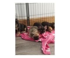 French Bulldog Puppies 1 Boy 1 Girl Left