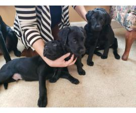 Pure bred litter of 10 lab puppies
