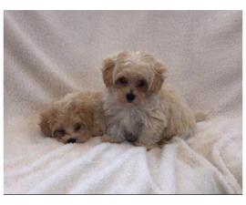 Outstanding Health Tested Maltipoo Puppies