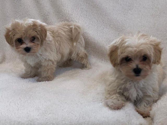 Outstanding Health Tested Maltipoo Puppies in Marlborough ...