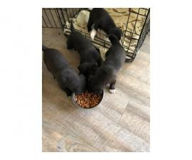 4 Pitsky puppies for sale