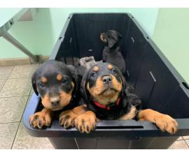 7 weeks old Rottweilers needs a good home