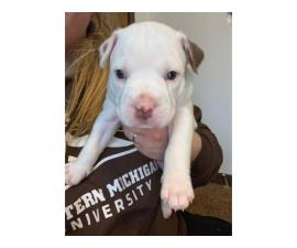 Full blood Male Pit bull puppies