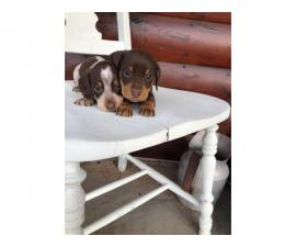 Purebred Miniature dachshund puppies