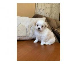 2 super cute male Toy Maltipoo puppies for sale