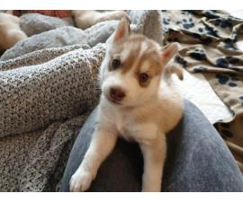 Husky Pups For Sale *  Males and Females Left *