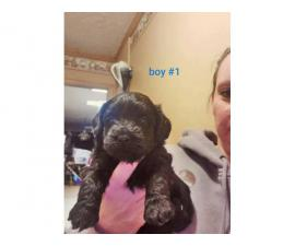2 male Yorkiepoo puppies for sale