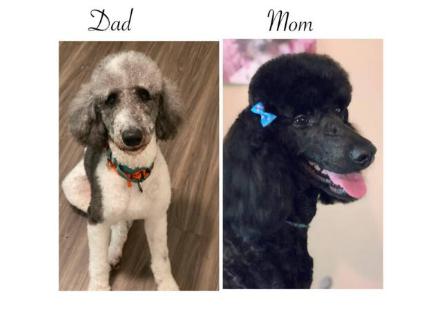 Standard Poodles In Norcross Georgia Puppies For Sale Near Me