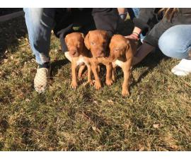 Six weeks old male Vizsla puppy
