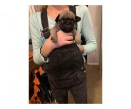 Purebred Pug Puppies for adoption