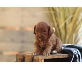 Beautiful Cavapoo puppy available