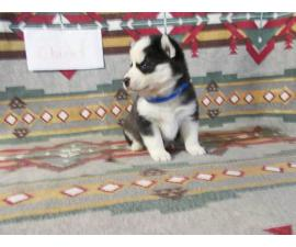 7 Pomsky Puppies available to be rehomed
