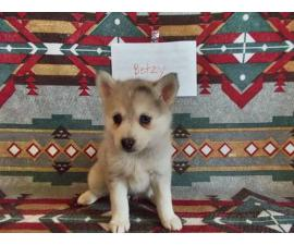 7 Pomsky Puppies Available To Be Rehomed In Rexford Montana Puppies For Sale Near Me