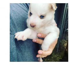 6 Siberian Husky Puppies for sale