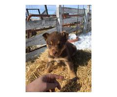 2 females Aussie puppies for sale