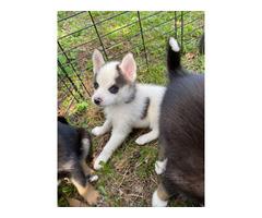 Wonderful Pomsky puppy up forsal