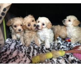 maltipoo pup ready now