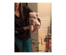 3 female Old English Bulldog puppies looking for a new family