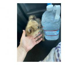 MicroPomeranian teacup puppy for sale