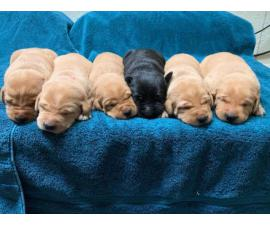 5 males and 2 females AKC labrador puppies available