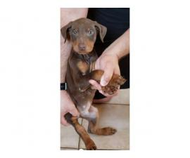 Stunning Doberman puppies ready to be re-homed