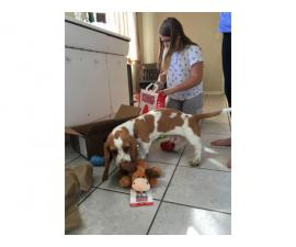 8 months old Bassett Hound Puppy looking for loving home