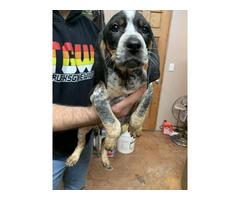 Purebred Bluetick Coonhound puppies