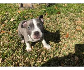 10 weeks old Pit bull puppies ready for a new home