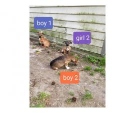 Two males and two females Chiweenie puppies