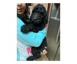 Black standard Poodle Puppies are ready to find new homes