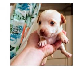 Rat terrier / Chihuahua puppies for rehoming
