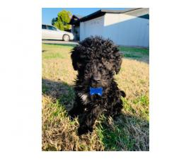 3 males Portuguese water dog puppies available