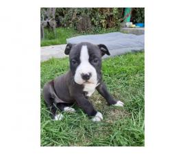 6 beautiful blue nose pit bull puppies left