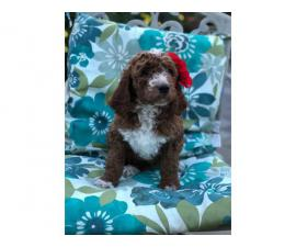 8 weeks old F1B Goldendoodle puppies available