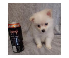Teacup Pomeranian male puppy waiting for his new home