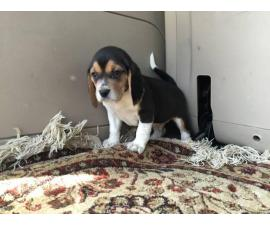 Tri-colored Beagle Puppies are in need of new loving homes