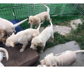 7 purebred Labrador Retriever puppies for sale