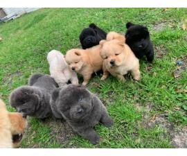 Lovely Full bloodied Chow Chow puppies