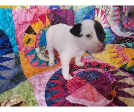 One girl left Chihuahua's Rat Terrier puppy