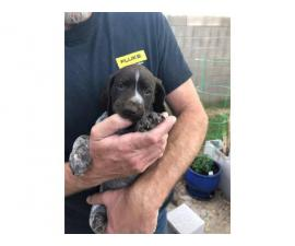 German Shorthaired Pointer puppies looking for good homes