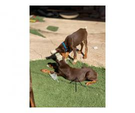 Two red male European Doberman puppies
