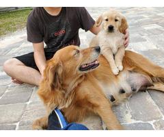 AKCGolden Retriever Pups