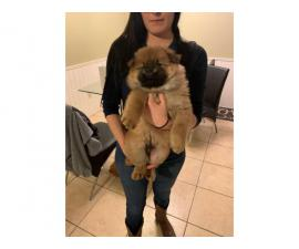 Rehoming 2 males Chow chow puppies