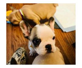 Ten weeks old Frenchie puppies for sale