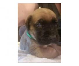 3 Cute English Mastiffpuppies to be rehomed