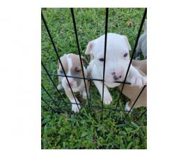 Five American Bulldog puppies available